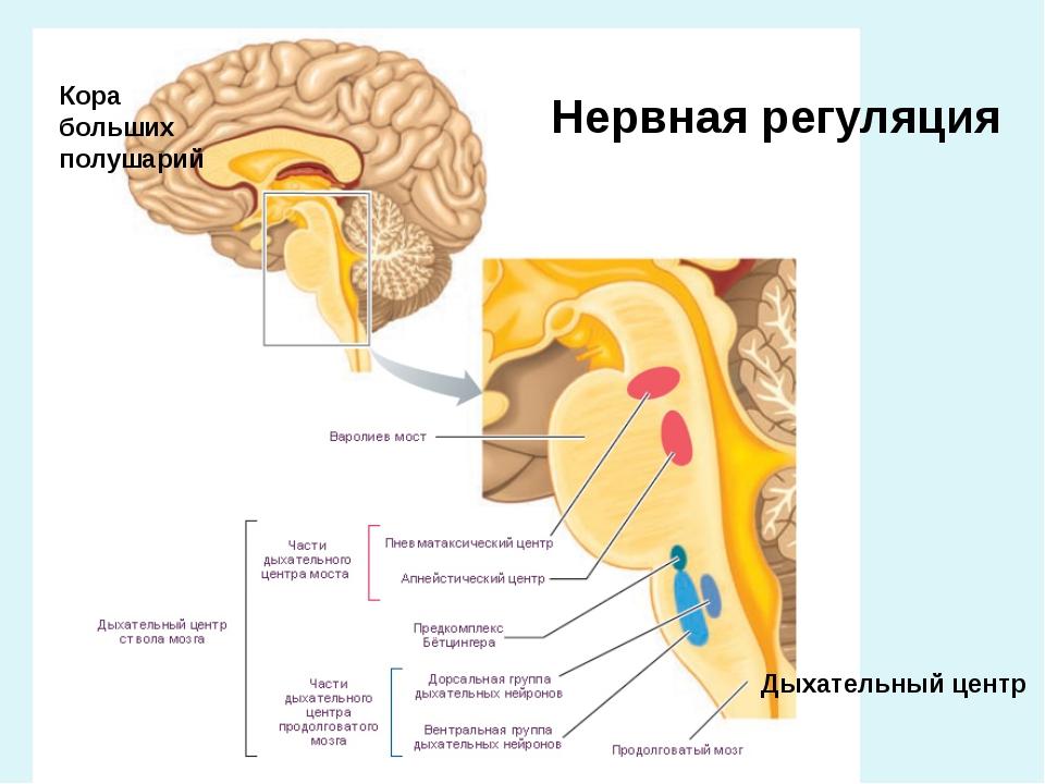 Дыхательный центр Нервная регуляция Кора больших полушарий