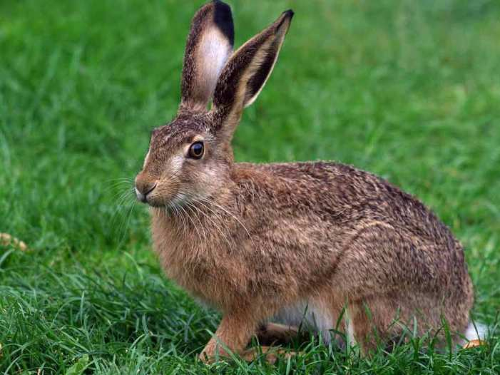 http://www.all-about-russia.ru/nature/animal/hare_b/hare_b.jpg
