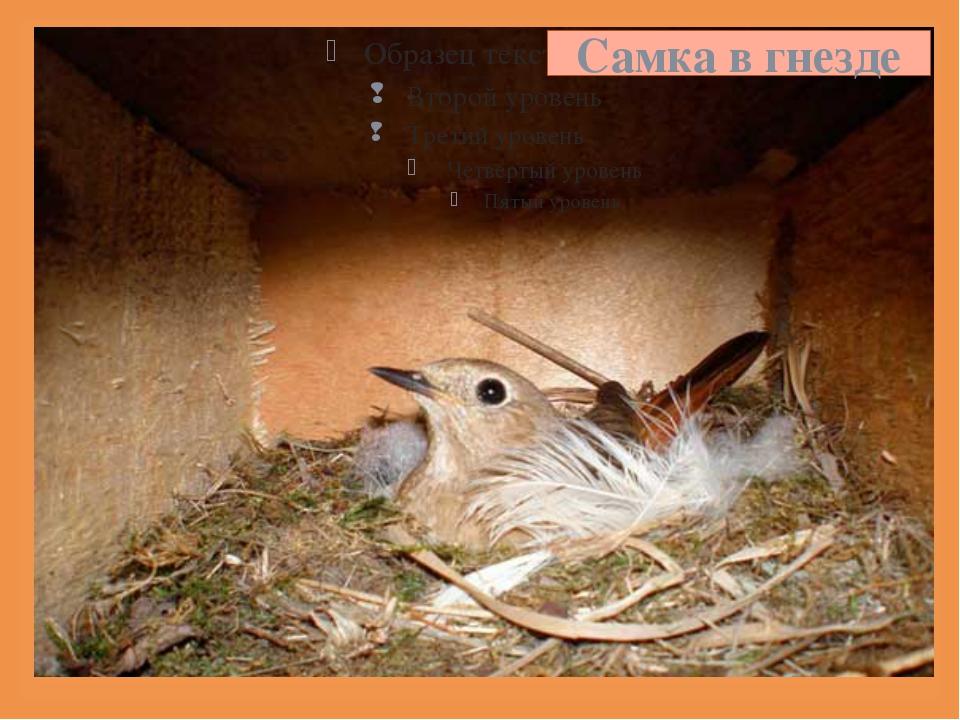 Самка в гнезде 
