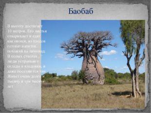 Баобаб В высоту достигает 10 метров. Его листья отваривают и едят как овощи,