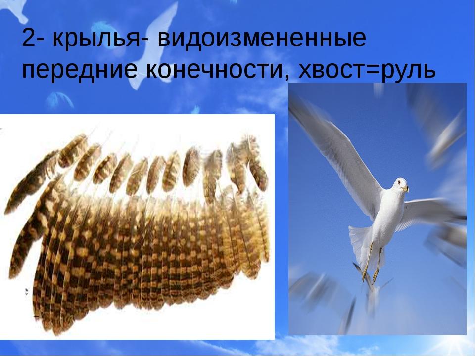 2- крылья- видоизмененные передние конечности, хвост=руль
