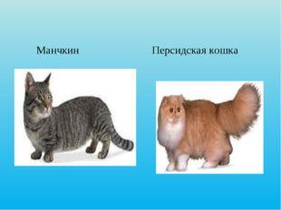 Манчкин Персидская кошка