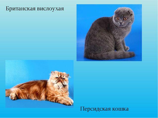 Персидская кошка Британская вислоухая