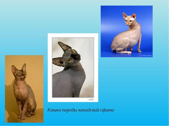 Рис. 7 Кошка породы канадский сфинкс. Кошка породы канадский сфинкс