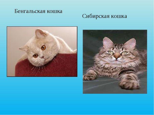 Бенгальская кошка Сибирская кошка