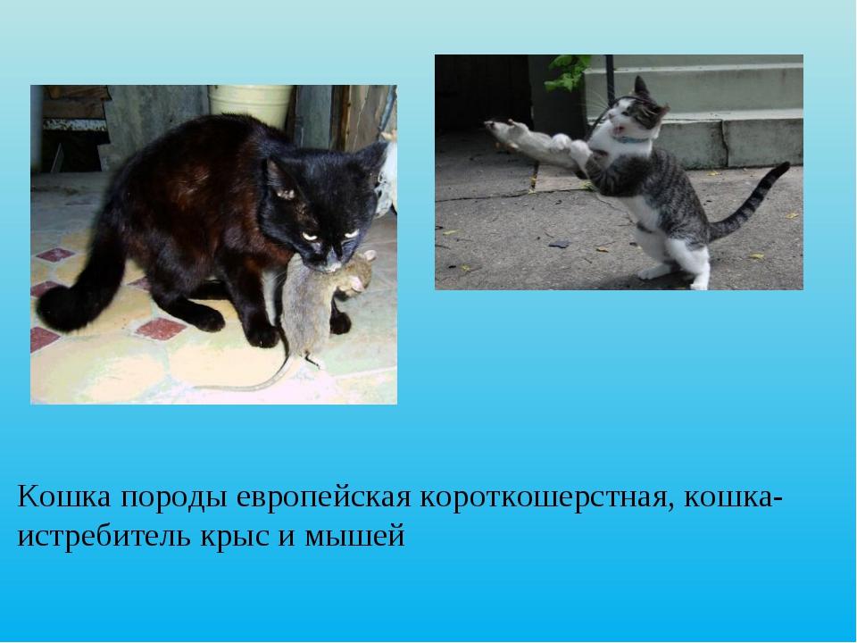 Кошка породы европейская короткошерстная, кошка-истребитель крыс и мышей