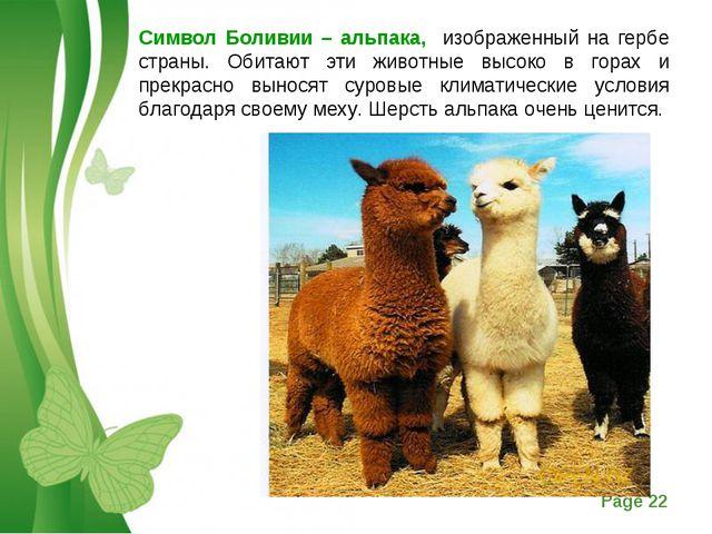 Символ Боливии – альпака, изображенный на гербе страны. Обитают эти животные...