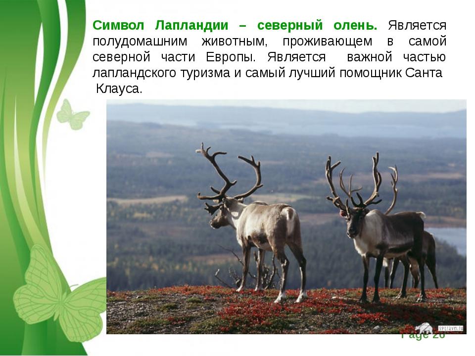 Символ Лапландии – северный олень. Является полудомашним животным, проживающе...