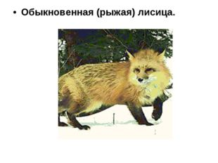 Обыкновенная (рыжая) лисица.
