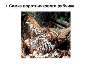 Самка воротничкового рябчика