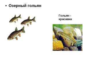 Озерный гольян Гольян - красавка