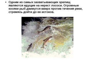 Одним из самых захватывающих зрелищ являются идущие на нерест лососи. Огромны