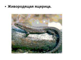 Живородящая ящерица.