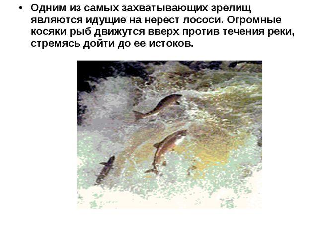 Одним из самых захватывающих зрелищ являются идущие на нерест лососи. Огромны...