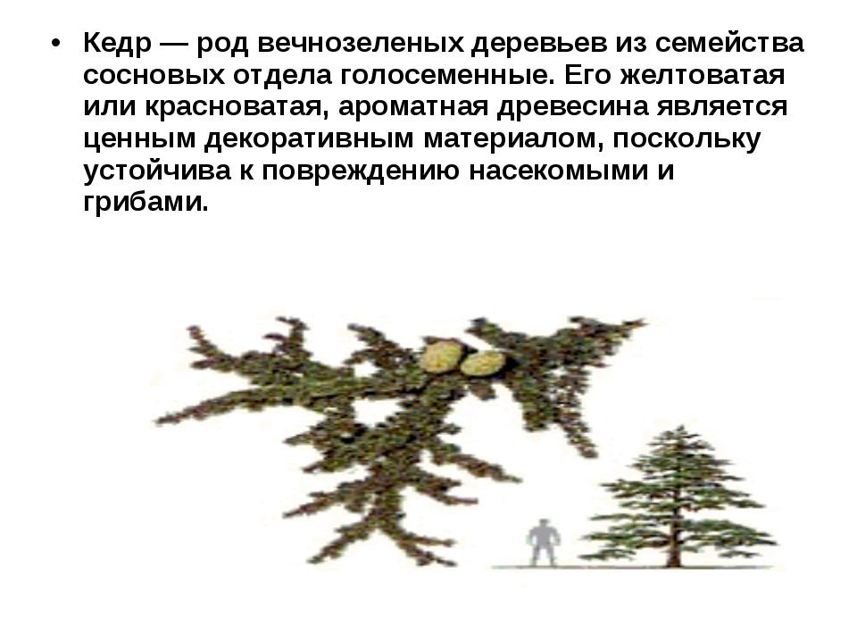 Кедр — род вечнозеленых деревьев из семейства сосновых отдела голосеменные. Е...