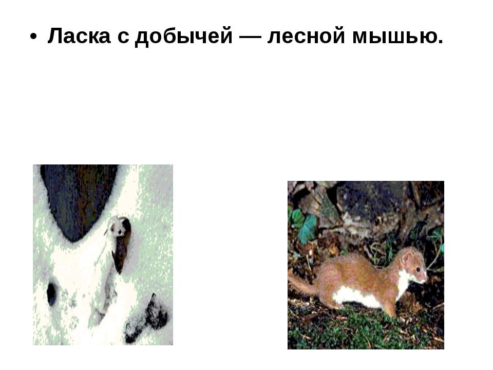 Ласка с добычей — лесной мышью.