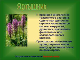Красивое многолетнее травянистое растение. Одиночная цветочная стрелка заканч