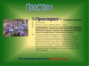 Прострел – Pulsatilla pratensis СОН ЛУГАВЫ Высота 30—45 см. Цветёт в апреле —