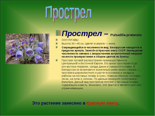Прострел – Pulsatilla pratensis СОН ЛУГАВЫ Высота 30—45 см. Цветёт в апреле —...