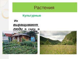 Растения Культурные Их выращивают люди в саду, в поле, в огороде Дикорастущие