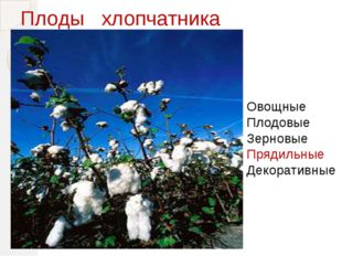 Плоды хлопчатника Овощные Плодовые Зерновые Прядильные Декоративные