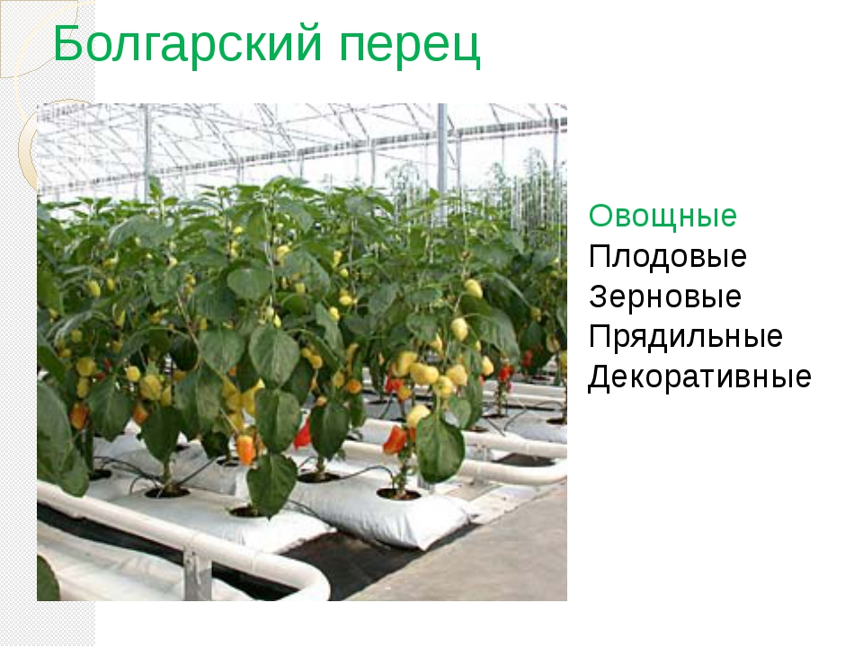 Болгарский перец Овощные Плодовые Зерновые Прядильные Декоративные