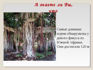 А знаете ли Вы, что Самые длинные корни обнаружены у дикого фикуса из Южной А