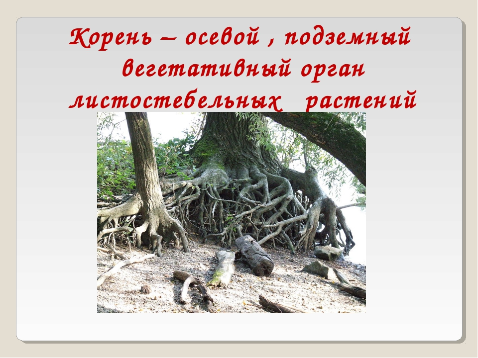 Корень – осевой , подземный вегетативный орган листостебельных растений