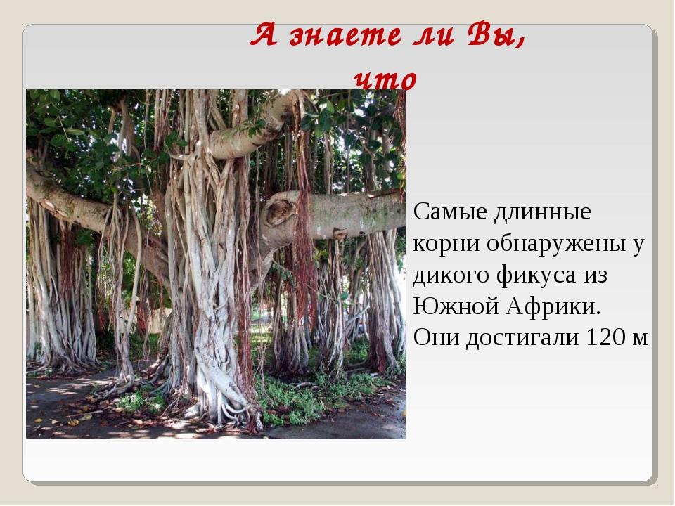 А знаете ли Вы, что Самые длинные корни обнаружены у дикого фикуса из Южной А...