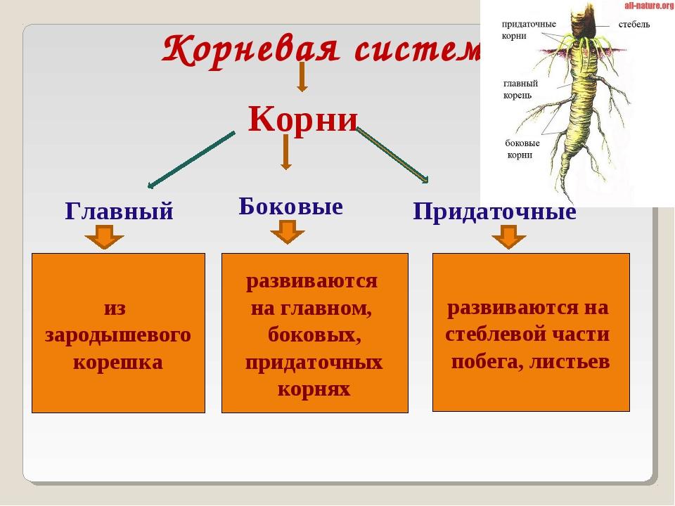 Корневая система Корни Главный Боковые Придаточные из зародышевого корешка ра...