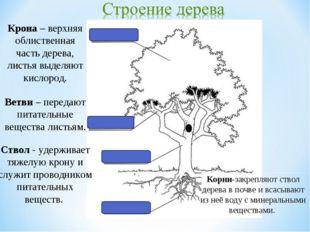 Крона – верхняя облиственная часть дерева, листья выделяют кислород. Ствол -