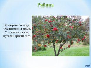 Это дерево по моде, Осенью одели вроде, У зеленого пальто, Пуговки красны зато.