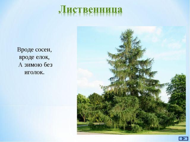 Вроде сосен, вроде елок, А зимою без иголок.