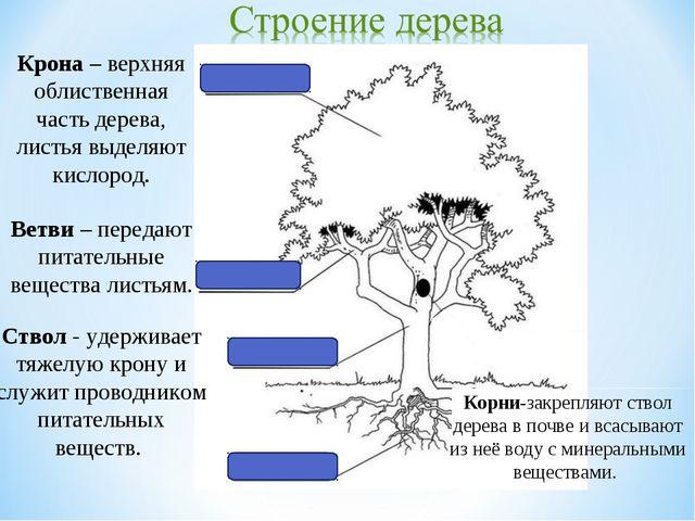Крона – верхняя облиственная часть дерева, листья выделяют кислород. Ствол -...