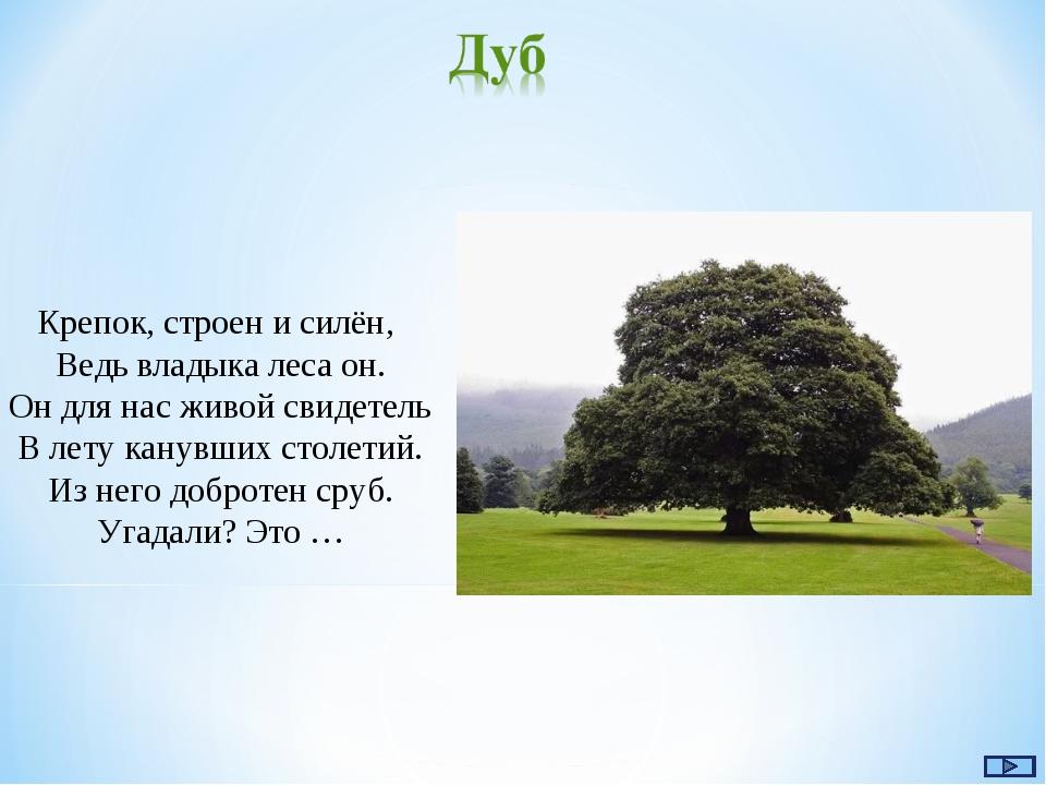 Крепок, строен и силён, Ведь владыка леса он. Он для нас живой свидетель В ле...