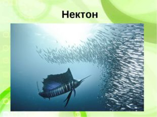 Нектон