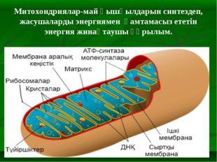 Митохондриялар-май қышқылдарын синтездеп, жасушаларды энергиямен қамтамасыз е