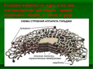 Гольджи жиынтығы- ядроға жақын, жасуша орталығын ойнала қоршап жататын көпірш
