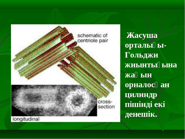 Жасуша орталығы- Гольджи жиынтығына жақын орналосқан цилиндр пішінді екі ден...