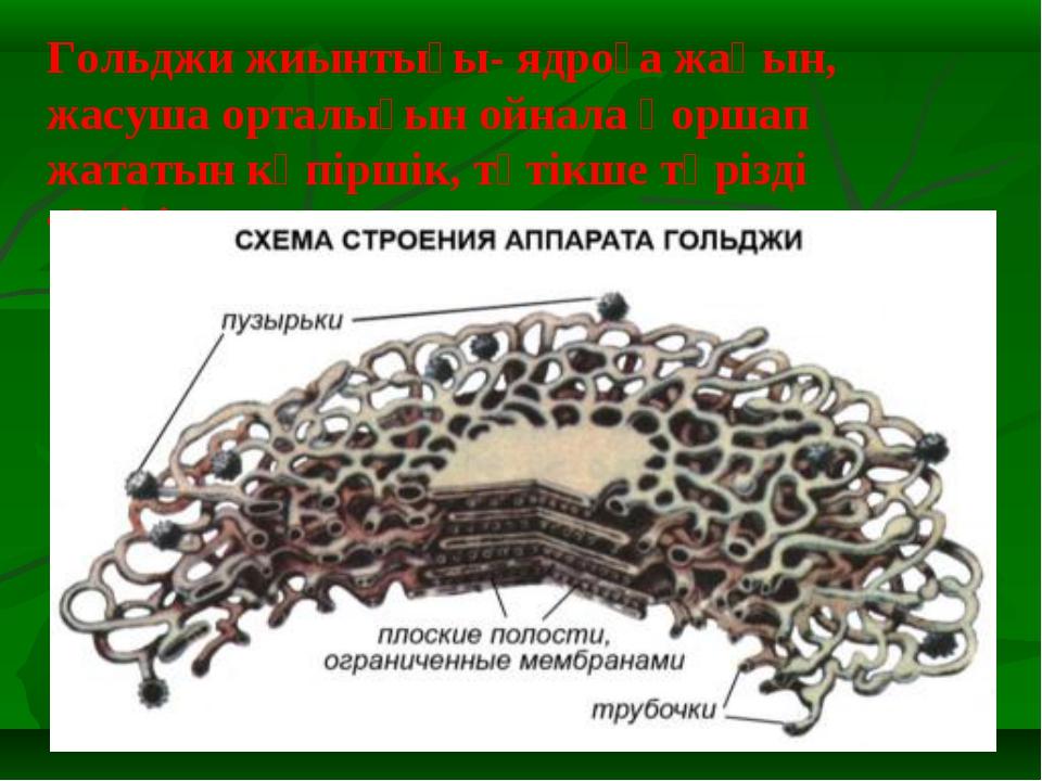 Гольджи жиынтығы- ядроға жақын, жасуша орталығын ойнала қоршап жататын көпірш...