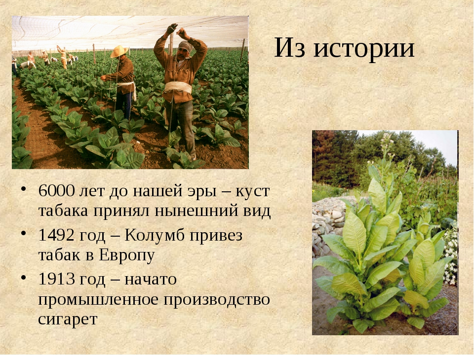 Из истории 6000 лет до нашей эры – куст табака принял нынешний вид 1492 год –...