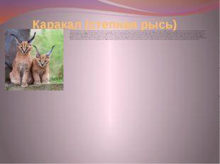 Каракал (степная рысь) Хищное млекопитающее семейства кошачьих. Долгое время