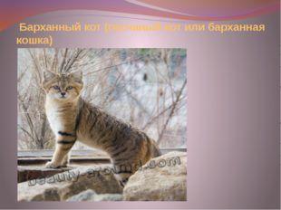 Барханный кот (песчаный кот или барханная кошка)