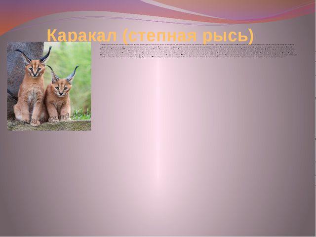 Каракал (степная рысь) Хищное млекопитающее семейства кошачьих. Долгое время...