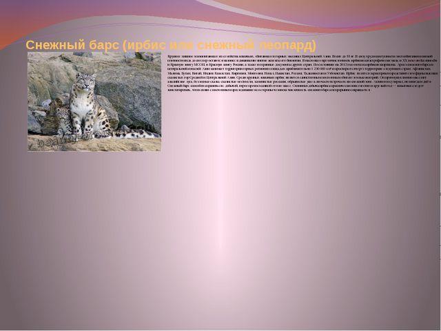 Снежный барс (ирбис или снежный леопард) Крупное хищное млекопитающее из семе...