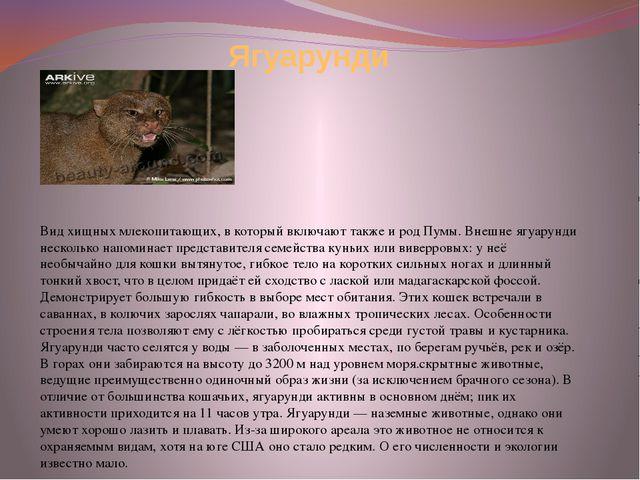 Ягуарунди Вид хищных млекопитающих, в который включают также и род Пумы. Внеш...