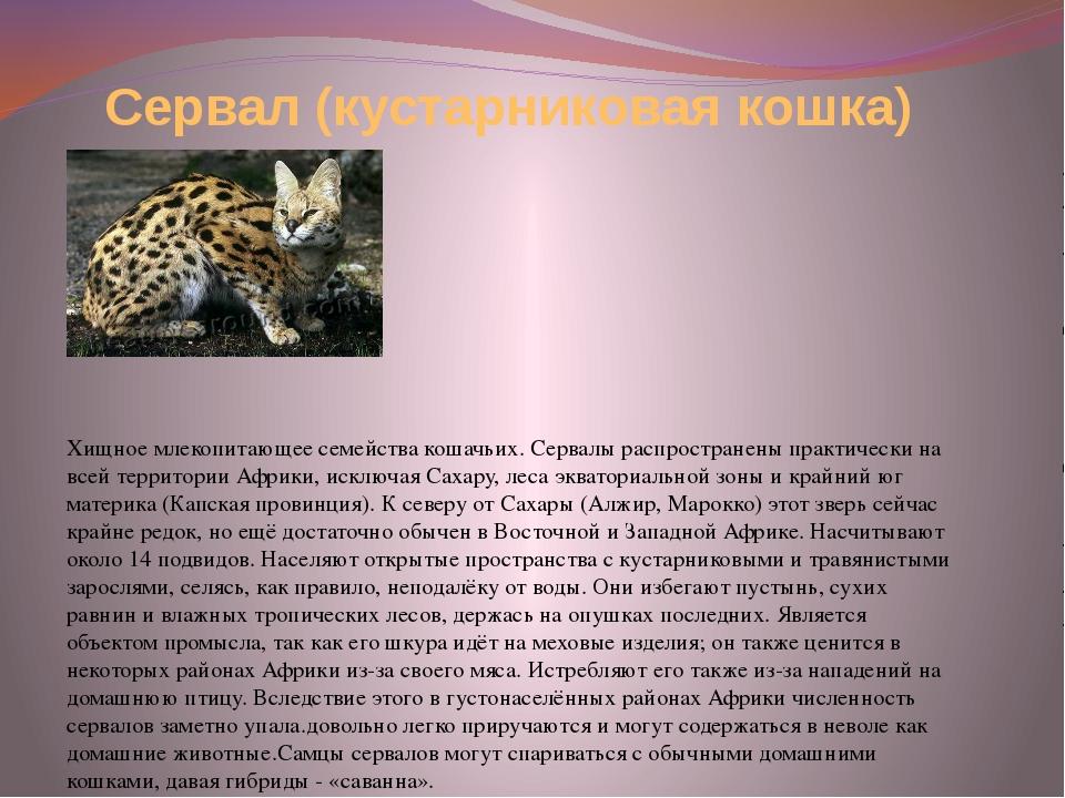 Хищное млекопитающее семейства кошачьих. Сервалы распространены практически...