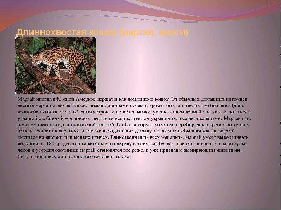 Длиннохвостая кошка (маргай, марги) Маргай иногда в Южной Америке держат и ка...
