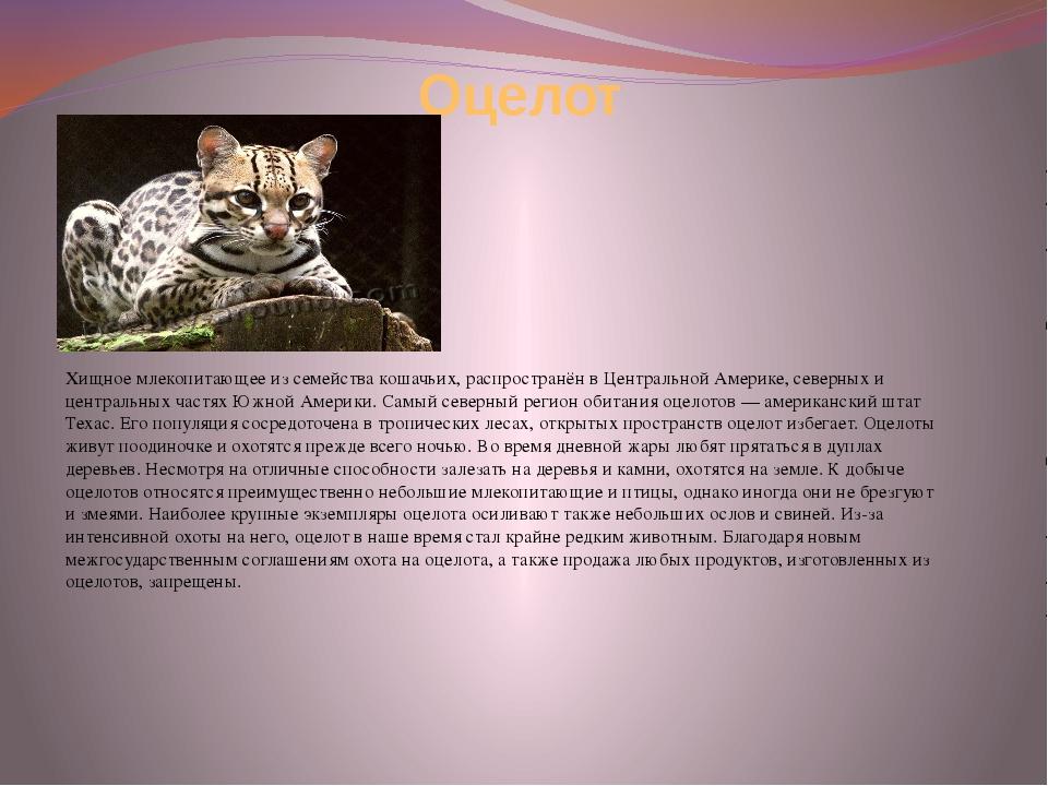 Оцелот Хищное млекопитающее из семейства кошачьих, распространён в Центрально...