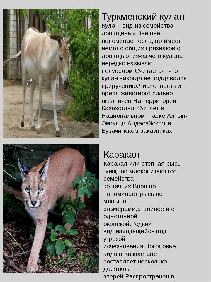 Туркменский кулан Кулан- вид из семейства лошадиных.Внешне напоминает осла, н...